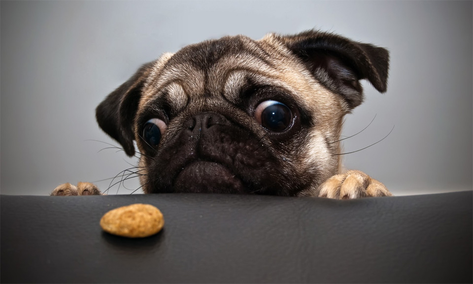 pug wants cookie