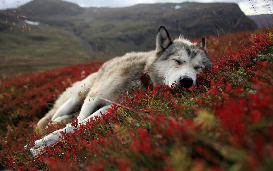 sleepy husky at red field