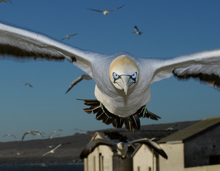 a mad cape gannet
