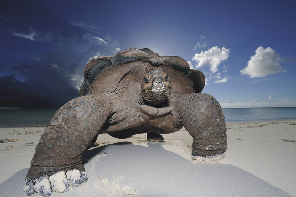 big turtle is the king of the beach