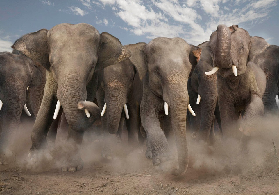 elephant stampede photo | One Big Photo