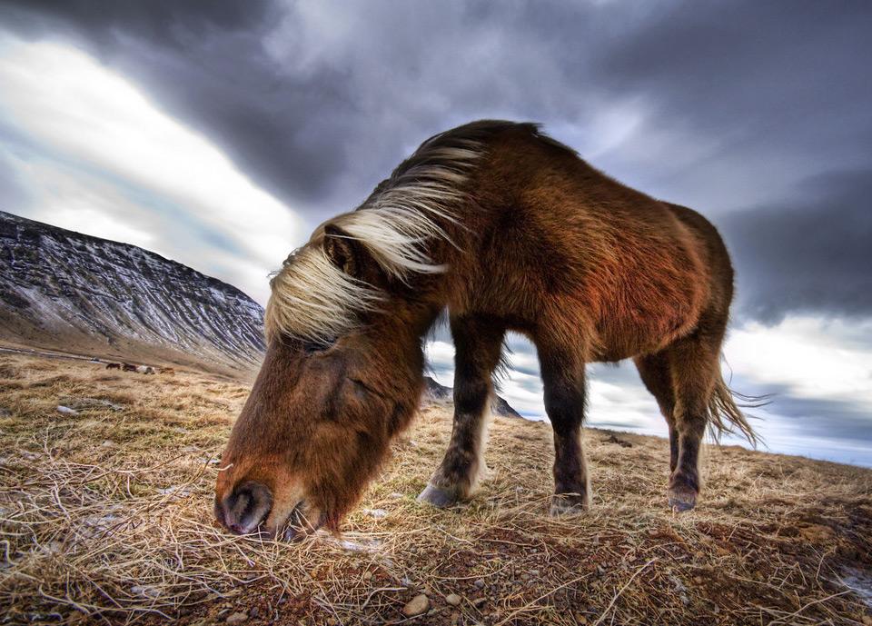 iceland wild horse