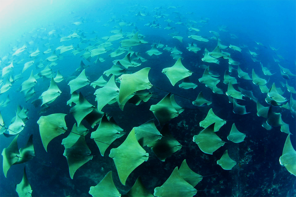 mass stingray migration
