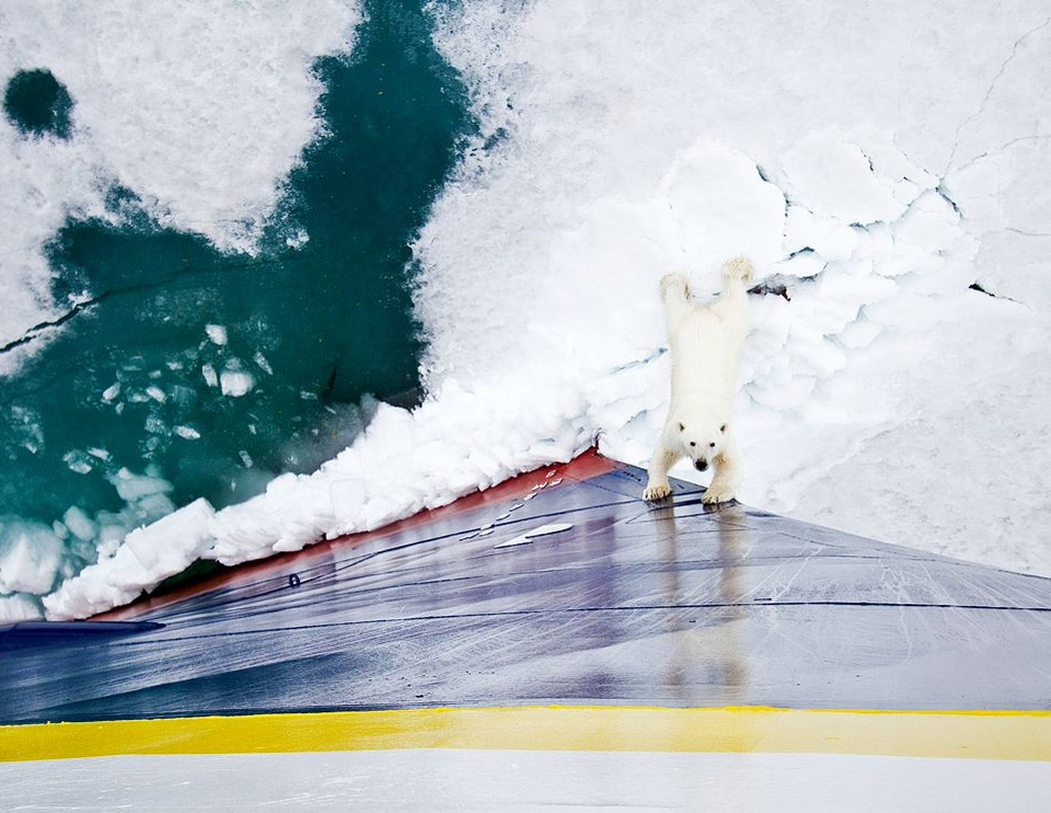 polar bear encountering an icebreaker ship