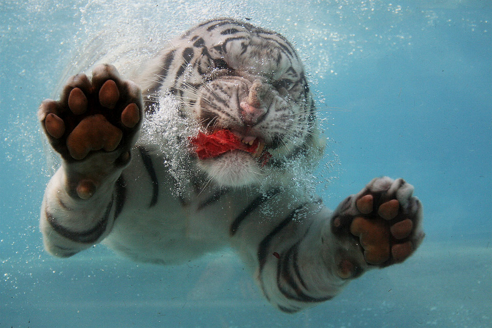 underwater white tiger