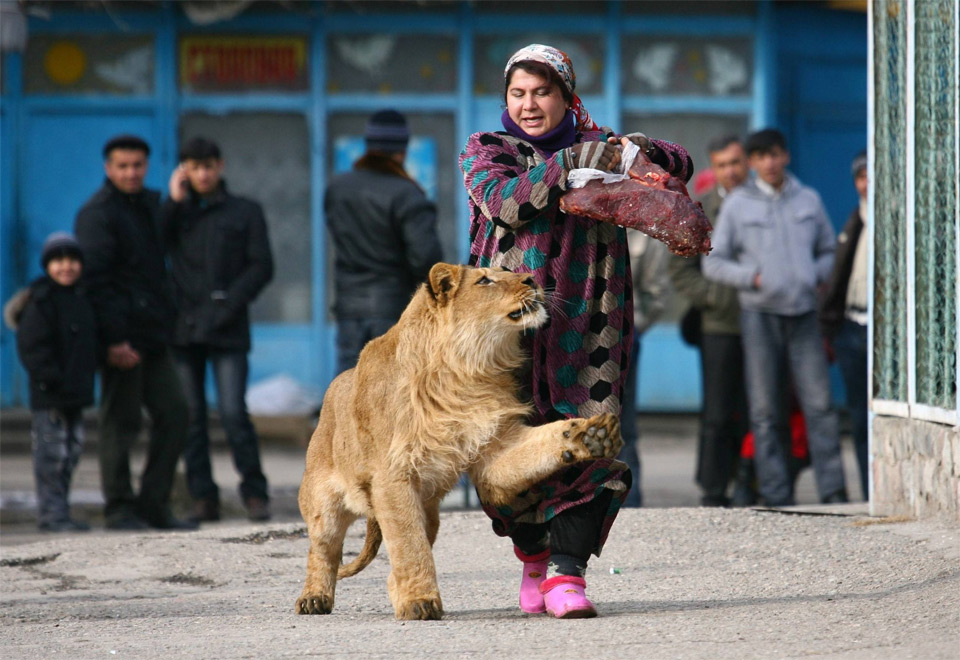 woman takes lion for a walk