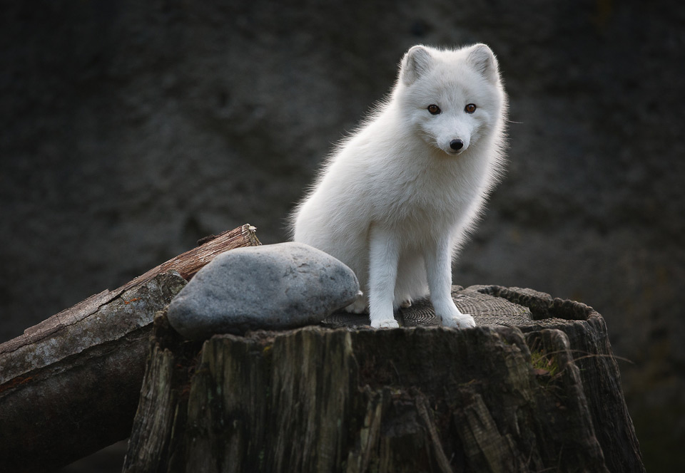 young artic fox
