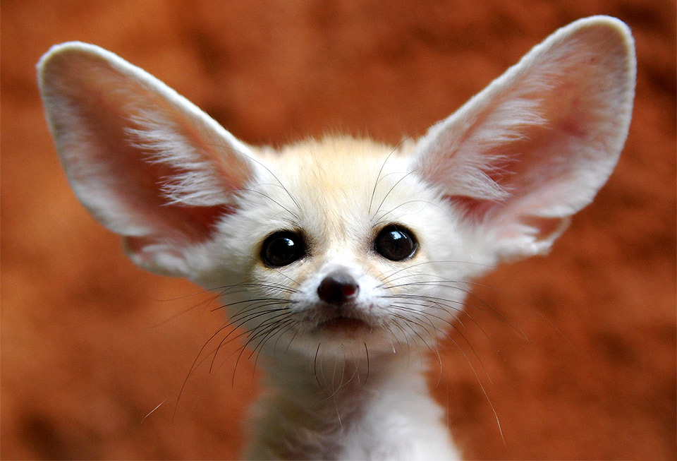 a little fennec fox