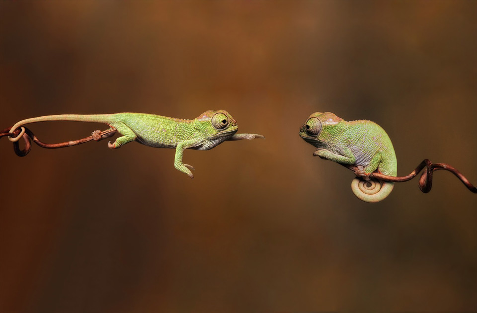 http://www.stumbleupon.com/su/1UrGKo/onebigphoto.com/baby-chameleons/