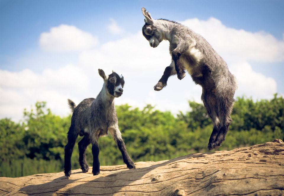 baby sheep jumping