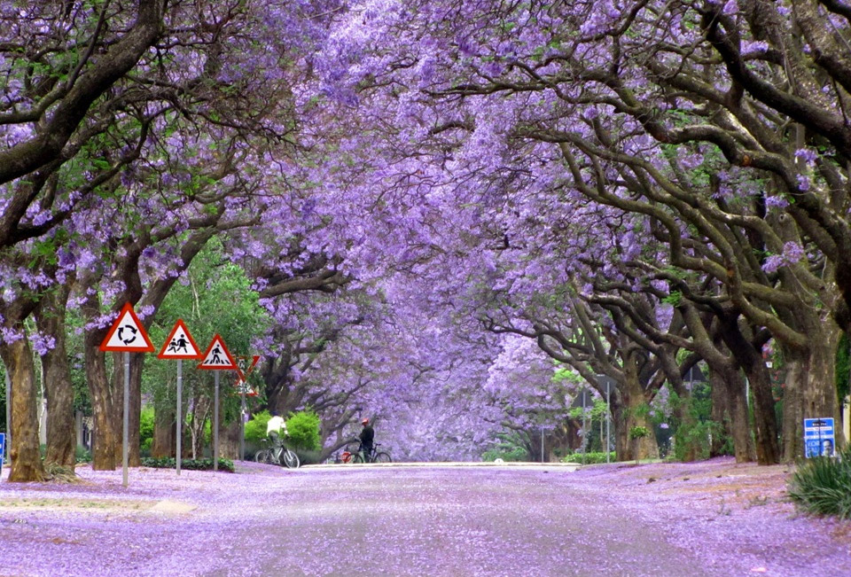 Jacarandas South Africa