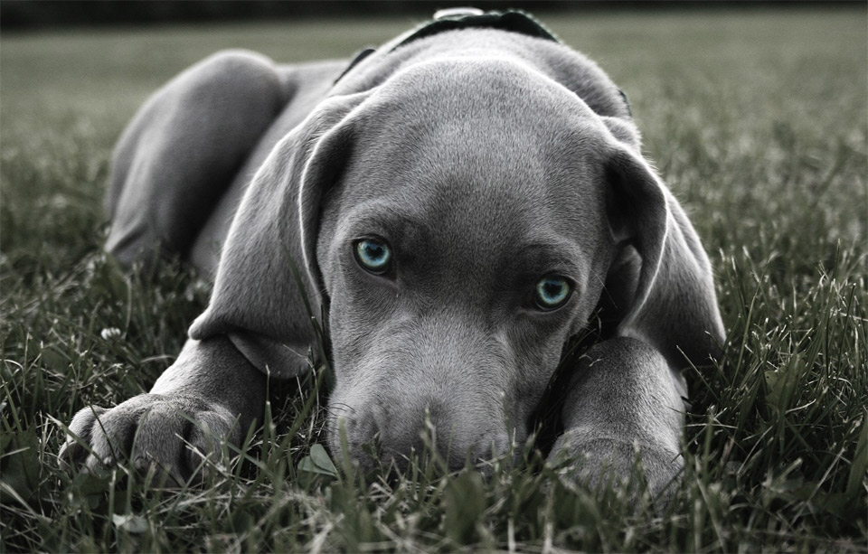 blue eyed weimaraner puppy