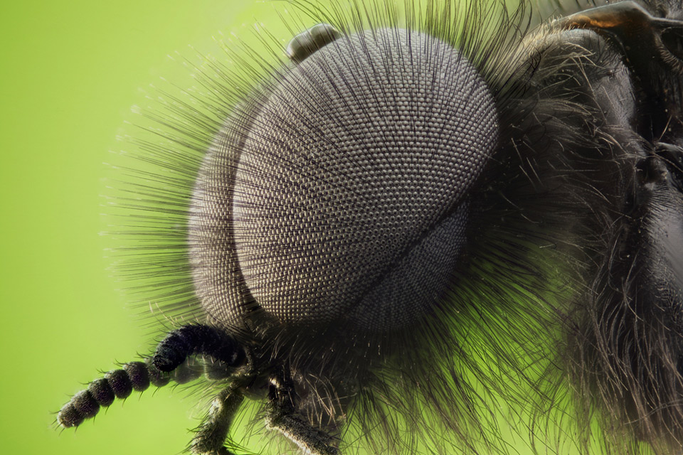 double compound eyes of a fly