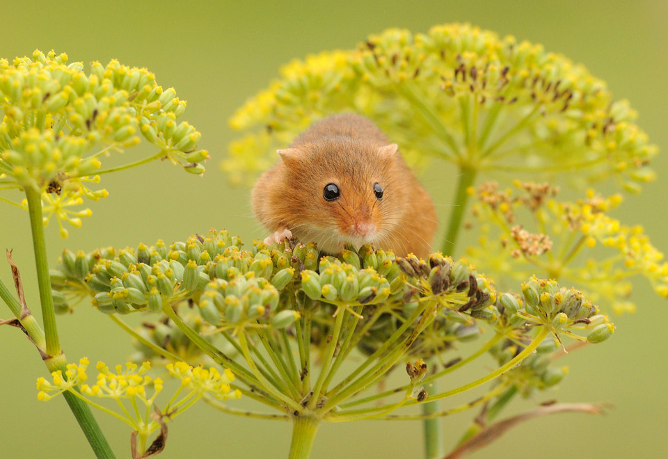 harvest mouse loves flowers