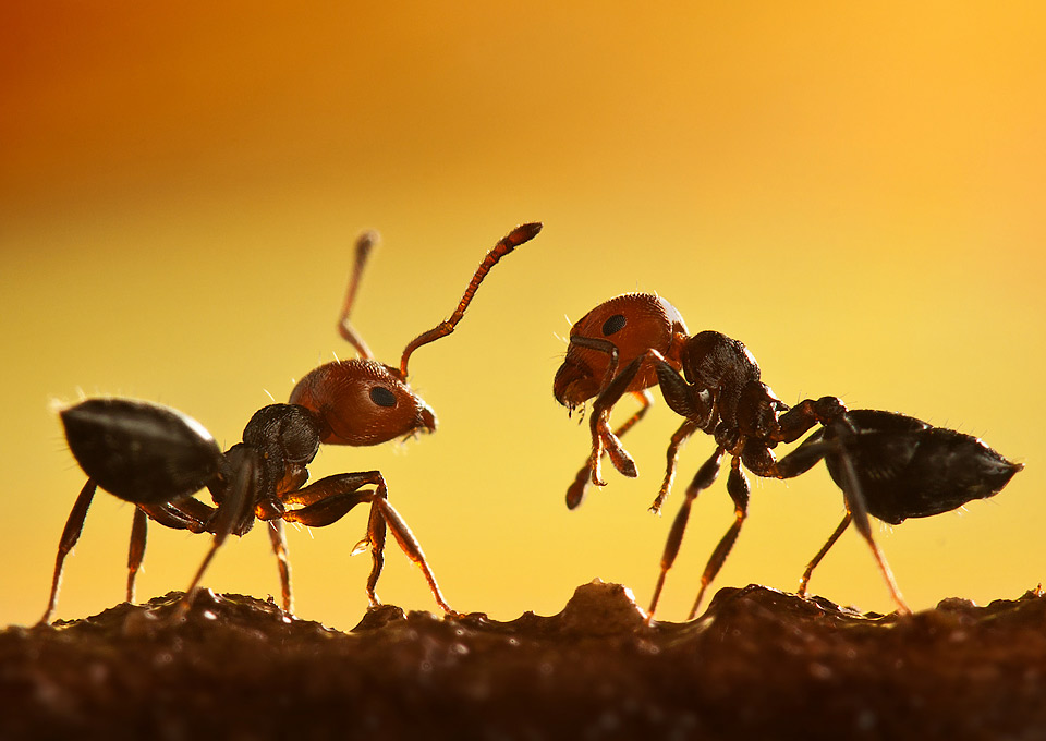 macro shot of two ants