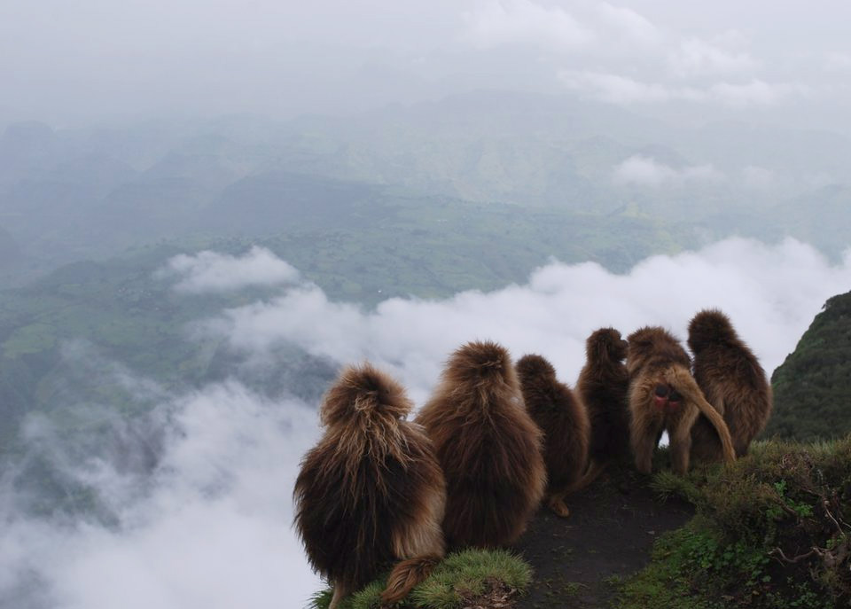 monkeys at ethiopian mountains
