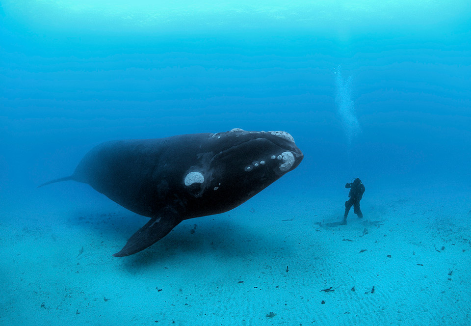 southern right whale meets diver