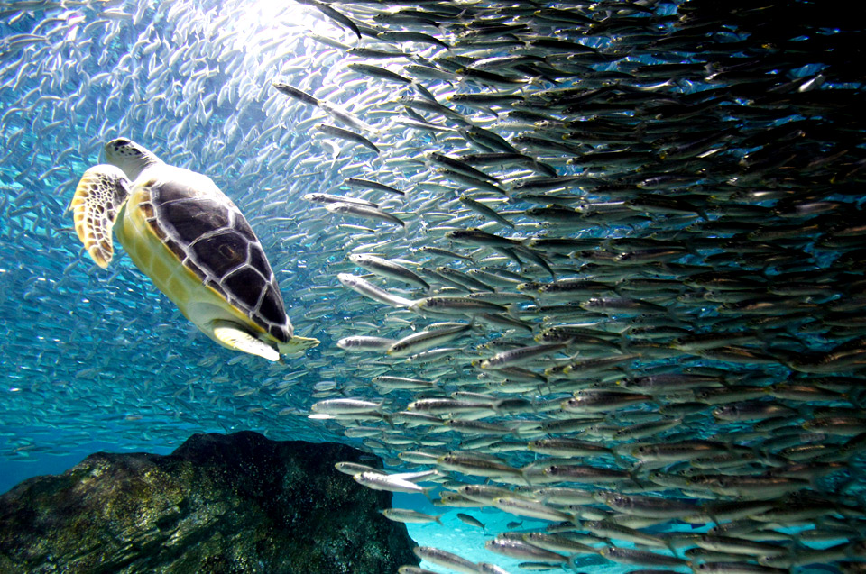 turtle swims with sardines