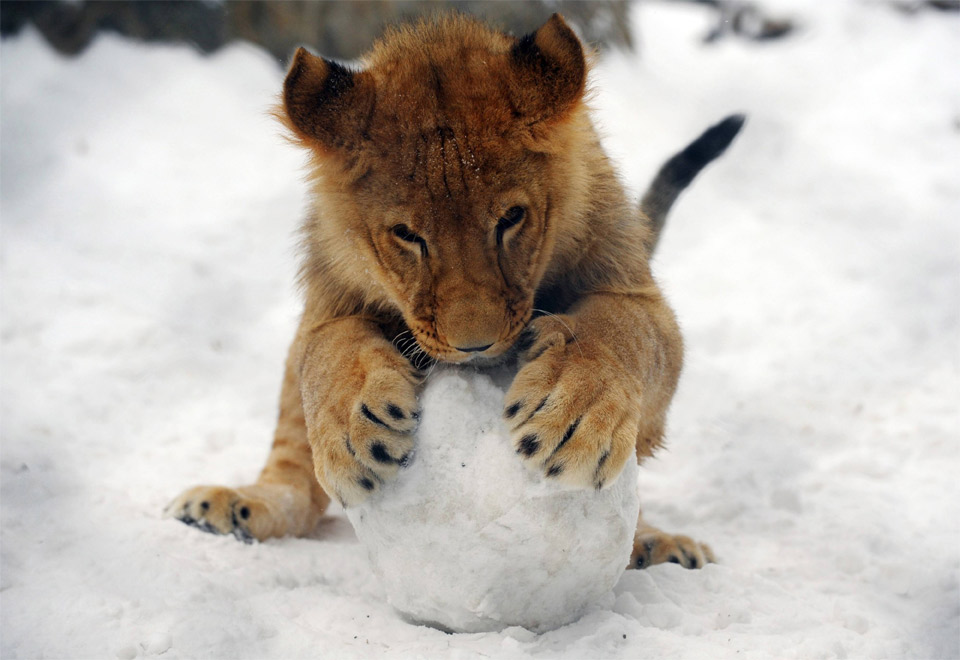baby lion plays with snowball