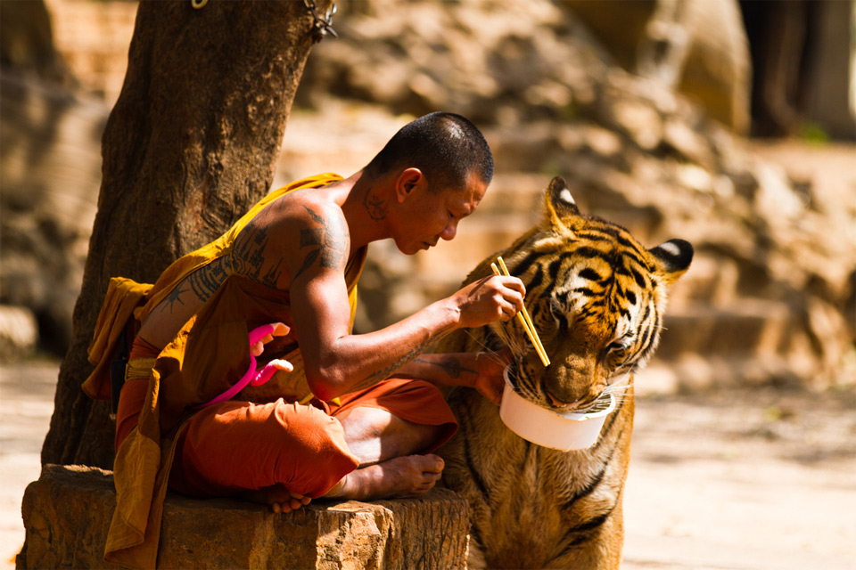 monk shares a meal with a tiger