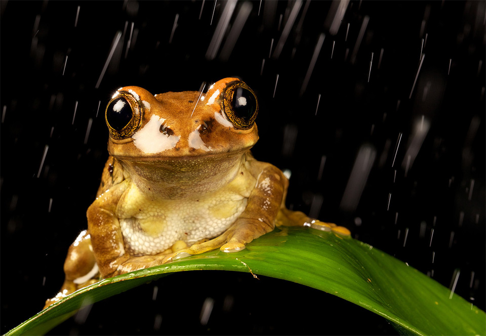 peacock tree frog loves rain