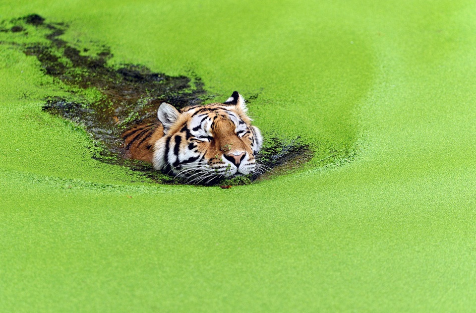 tiger swimming through weeds