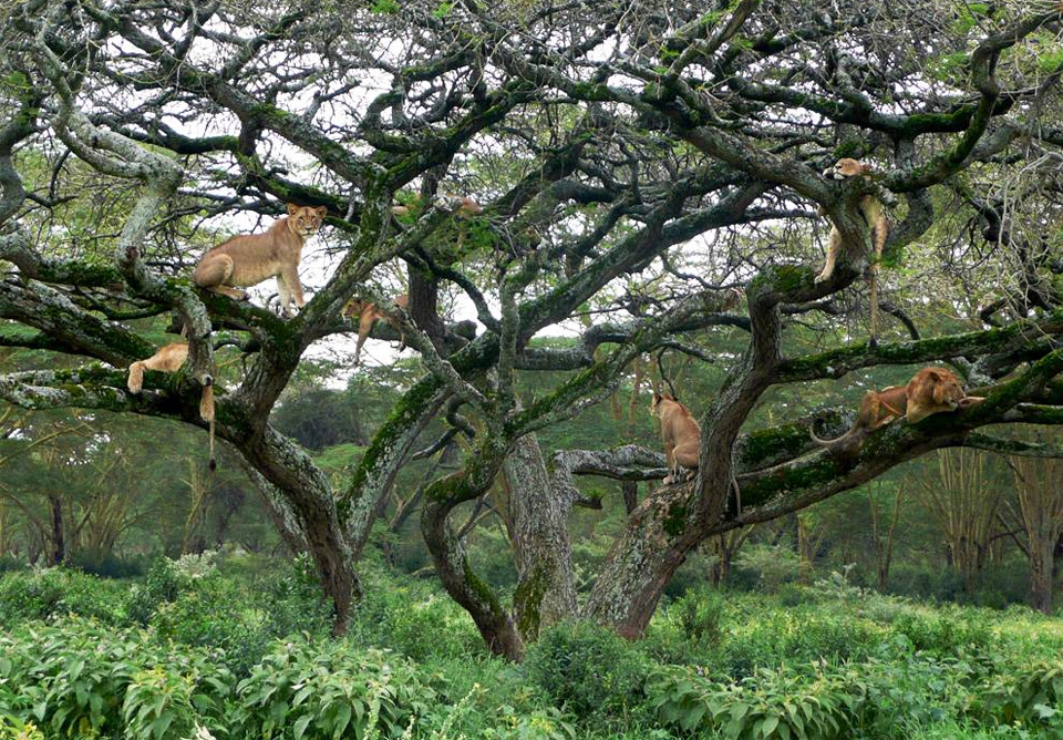 lions in a tree, kenya