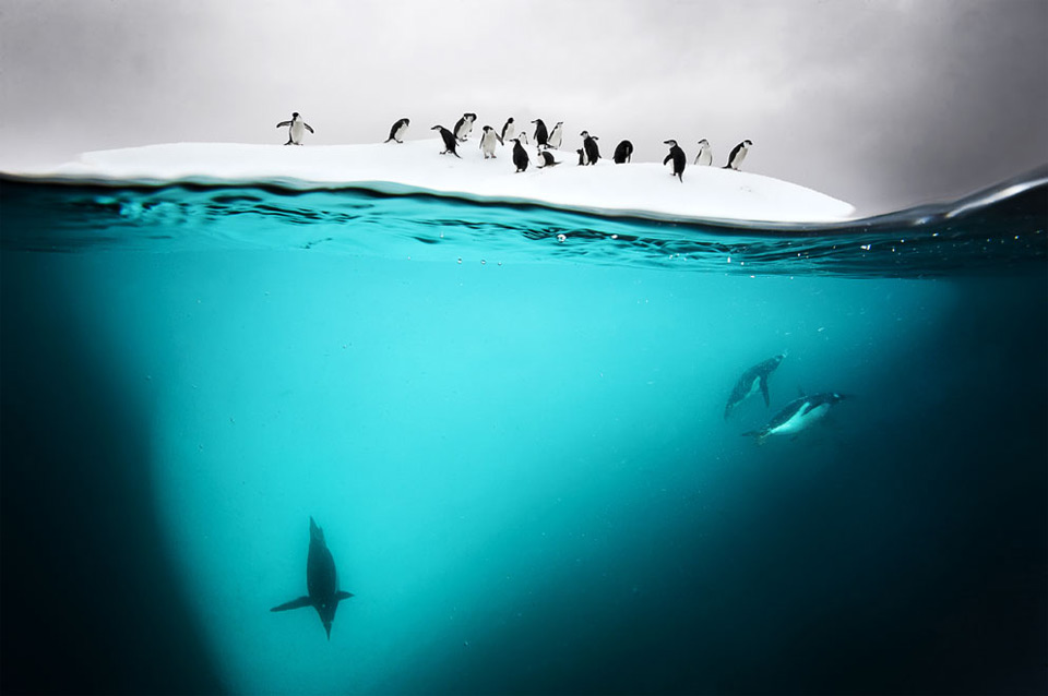 underwater antarctic penguins
