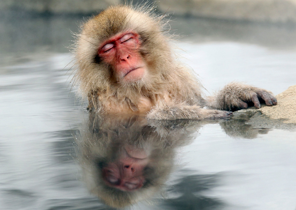 a japanese snow monkey