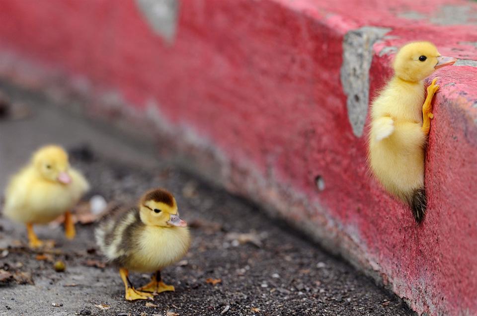 duckling climbing