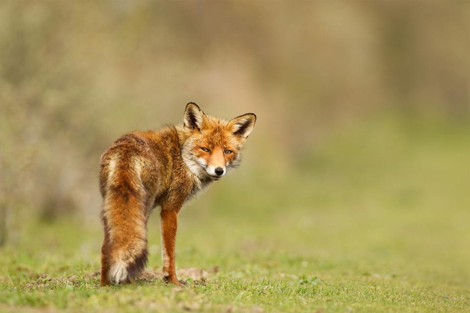 fox`s look