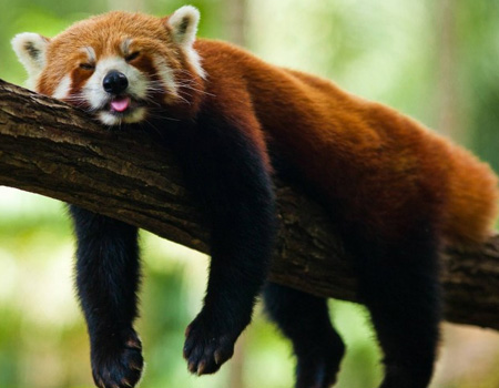 [Image: red-panda-sleeping-thumb.jpg]