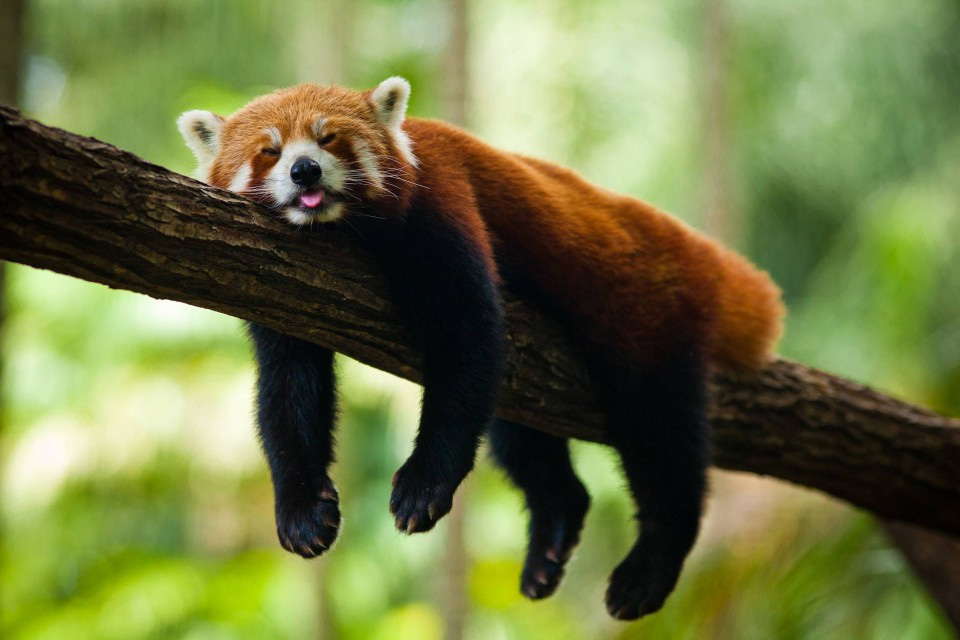 red panda sleeping photo
