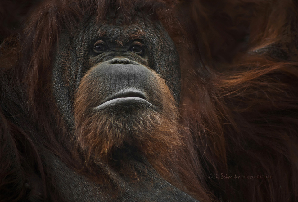 wise orangutan