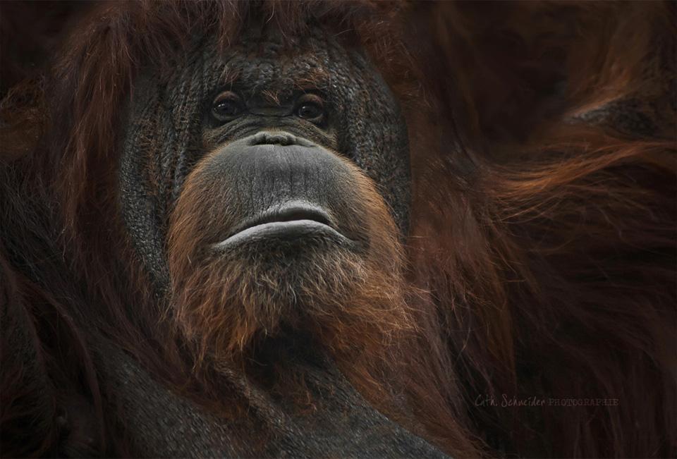 wise orangutan