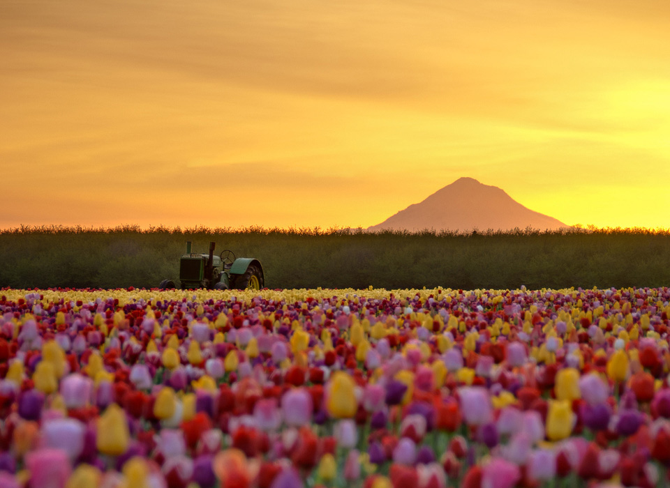 tulip field, oregon