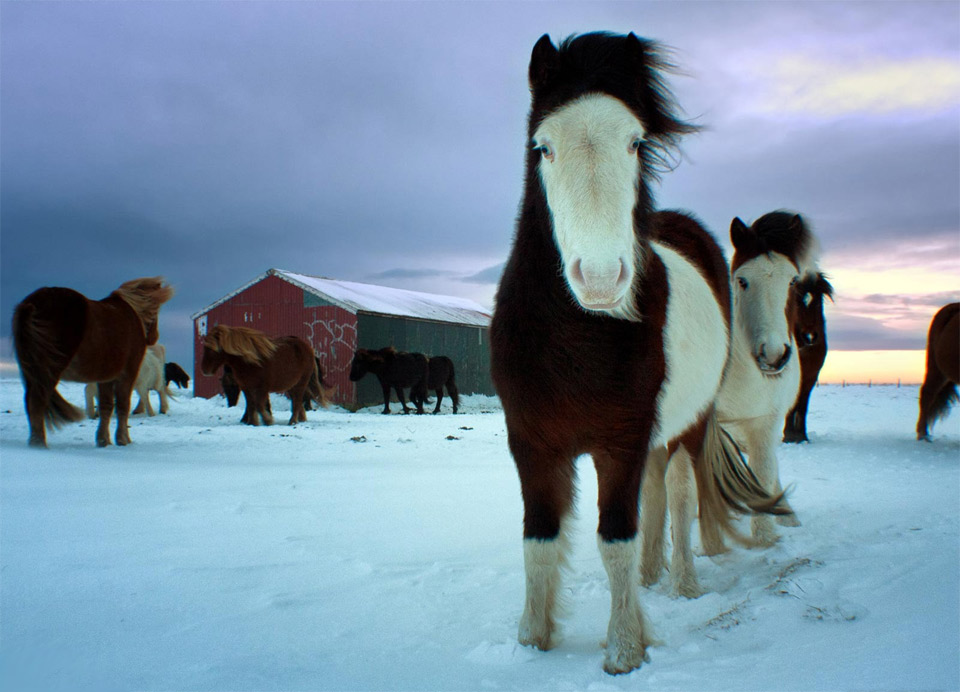 a herd of icelandic horses