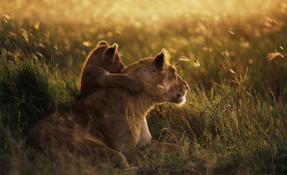 lion mother and cub hug