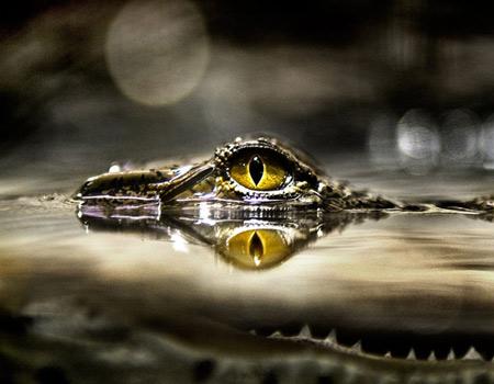 http://onebigphoto.com/uploads/2012/06/yellow-eye-of-a-nile-crocodile-thumb.jpg