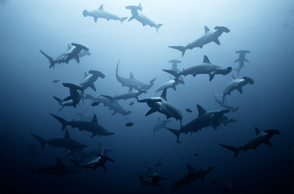 a shoal of hammerhead sharks