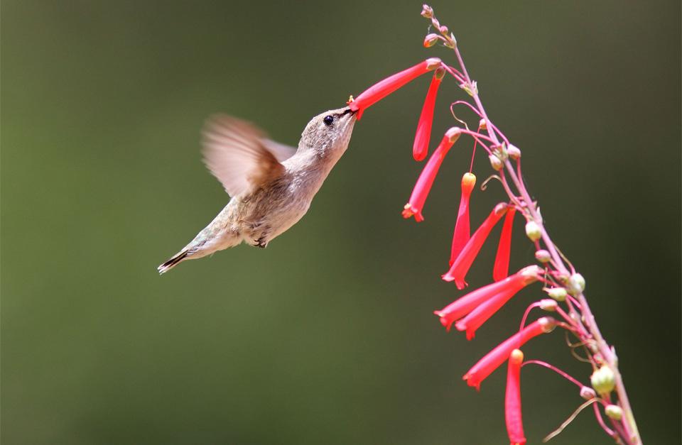 black chinned hummingbird in flight