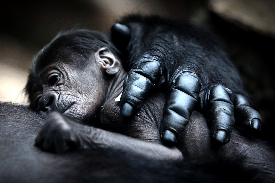 mother gorilla hugs baby
