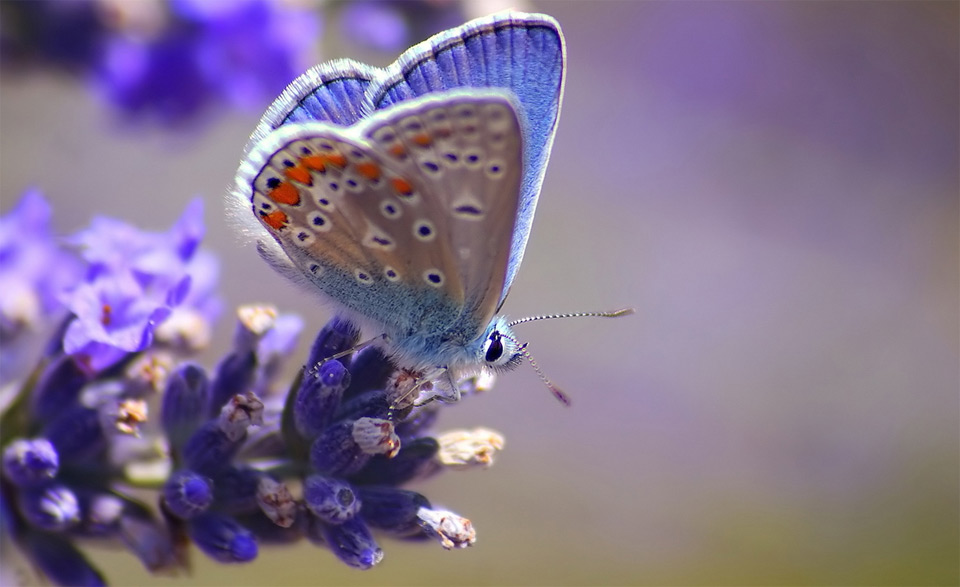 blue butterfly on a blue flower