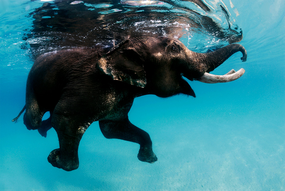 swimming elephant, andaman islands