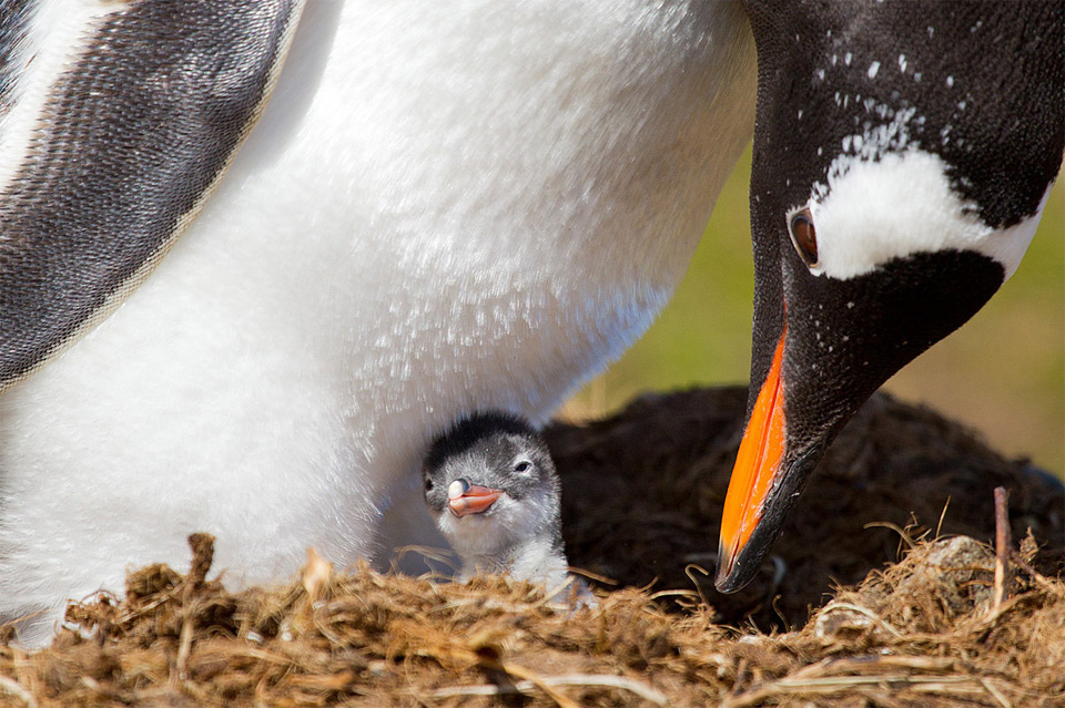 few hours old baby penguin