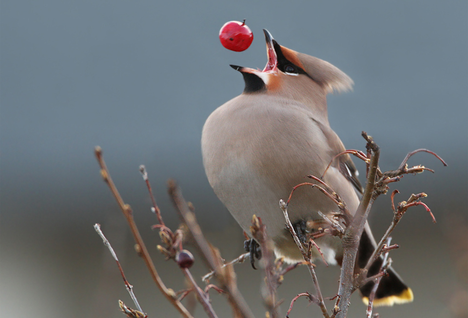 perfect timing of a bohemian waxwing
