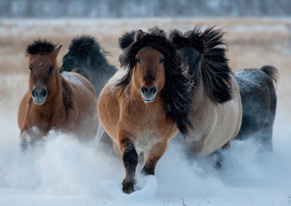 wild yakutian horses