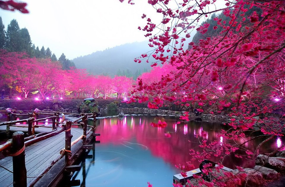 Lighted Cherry Blossom Lake Japan Photo