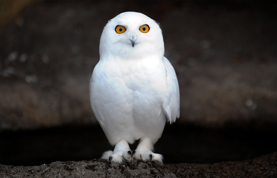 25  Majestic <b>Owls</b> Caught On Camera | Bored Panda