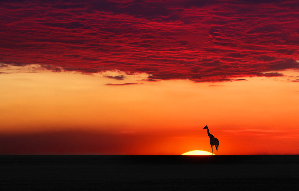 giraffe in sunset harmony